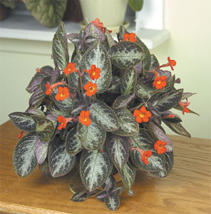 Chocolate Soldier Plant From Logees Greeenhouse