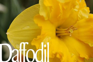 800px-yellow_daffodil_narcissus_closeup_3008px