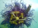 Passionflower - Passiflora
