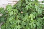 Abutilon Pictum - Flowering Maple