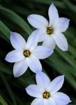 spring-starflower