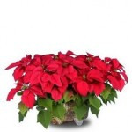 Perk Up The Holidays With Holiday Poinsettias