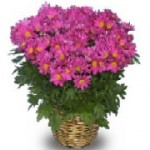 Chrysanthemum Blooming Plant