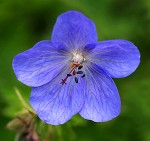 brookside-blue-hardy-geranium