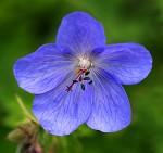 brookside-blue-hardy-geranium