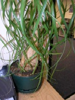 Beaucarnea recurvata (Pony Tail Palm)