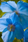 Himalyan Blue Poppy courtesy of istock photo
