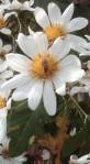 Montanoa grandiflora Bloom