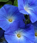 morning-glory-1