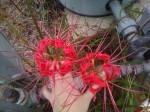 Red Spider Lily - Lycoris radiata