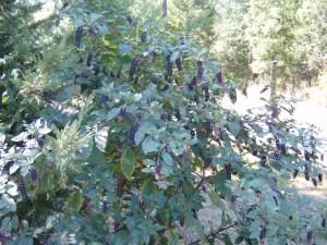 Poke Berry Plant