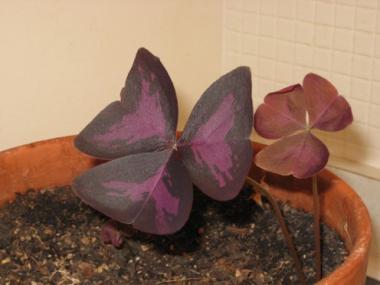 Oxalis - Love Plant