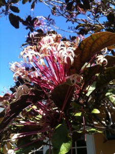 What is this south florida tree with pink blooms clerodendron quadriloculare mightylinksfo