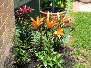 Group of LA Hybrid lilies