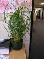 Ponytail Palm (Beaucarnea recurvata)
