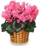 Buy Cyclamen Blooming Plants