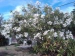 Montanoa grandiflora Shrub