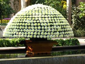 Thousand Bloom Chrysanthemum