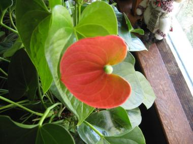Flamingo Lily Bloom (Anthurium andraeanum)