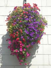 How To Make Sure Your Hanging Basket Of Petunias Stays Pretty