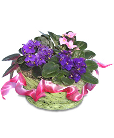 African Violet (Saintpaulia) Houseplant
