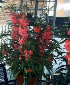 Christmas Pride Ruellia macranthia