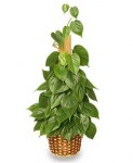 Heartleaf Philodendron Houseplant