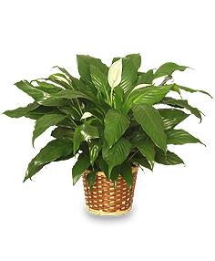 Peace Lily (Spathiphyllum clevelandii