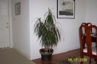 Dracaena marginata plant in a living room