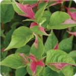 Party Time Alternanthera
