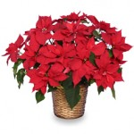 Stunning Poinsettias Add Holiday Cheer In Many Ways