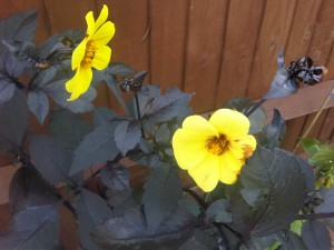 Yellow Dahlia with purple leaves