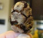 Cyrpess Seed Pod