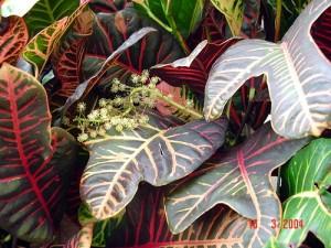 Croton Bloom