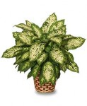Dumb Cane (Dieffenbachia picta)