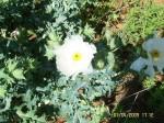 Prickly Poppy Argemone polyanthermos