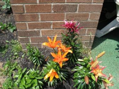 LA hybrid lilies