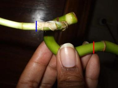 Lucky bamboo stem