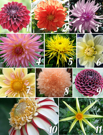 Types of Dahlias