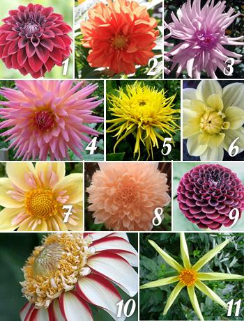 Types of Dahlias