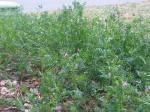 Spring Vetch - Vicia sativa