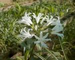 Nerine Bowdenii Spider Lily