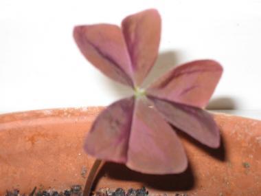 Mystery Flower Oxalis