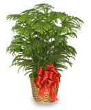 Send A Holiday Norfolk Island Pine