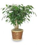 Benjamin Fig (Ficus benjamina)