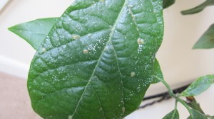 Avocado Leaf With White & Brown Spots