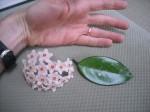 Hoya Flower & Leaf