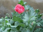Double Flowering Poppy