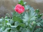 Double Flowering Poppy