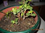 Crassula ovata arborescens - Baby Jade